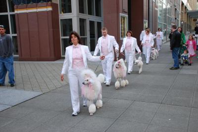 Poodles parading their pom poms